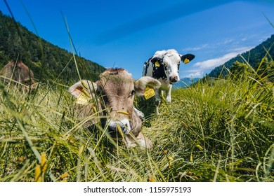 Cows feeding on a pasture next to an alpine lake Pillersee. Sunny summer day, cow on a green grass next to a mountain lake. Portrait shot of cattle on an alpine pasture, Tirol, Austria.