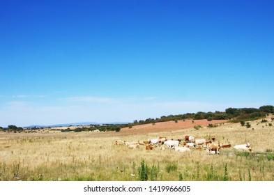 cows in field, alentejo landscape, Portugal