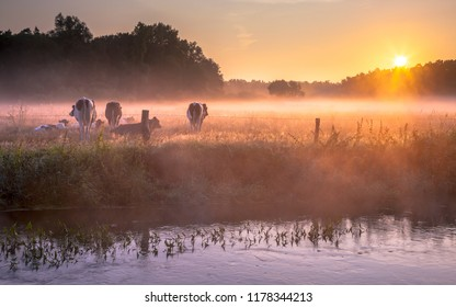 Cows in the field in early morning foggy sunrise along a small lowland river in the Netherlands
