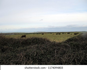 Cows in a field next to the ocean