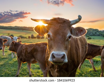Cows in field, one cow looking at the camera during sunset in the evening
