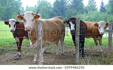 Cows Field Stolen Freedom Stock Photo (Edit Now) 1099486250