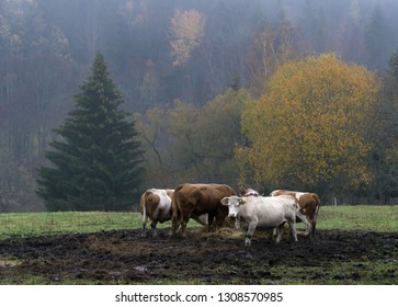 Cows in a field in the Sumava National Park