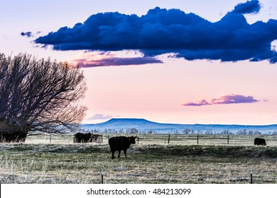 Cows in a Field at Sunset in Wyoming
