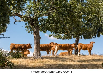 Cows in the fields of Salamanca, Spain