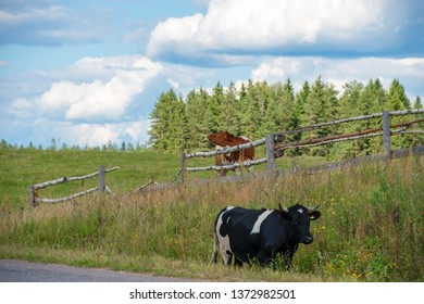 The cows fled from the pasture and go along the highway