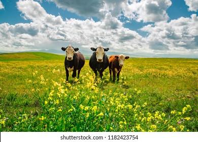Cows in a flower field