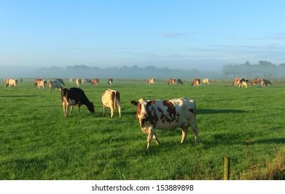 Cows in a foggy meadow.