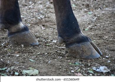 Cow's foot