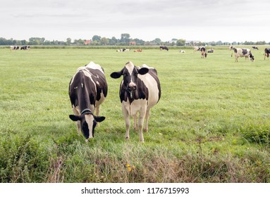 Cows in the foreground in a meadow. One cow looks curiously at the photographer and the other cow eats the fresh grass without being disturbed. In the background is the edge of a small Dutch village.
