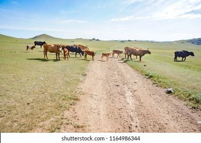 Cows form a roadblock on a Mongolian dirt road