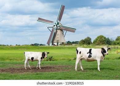 Cows in front of the Akkersloot windmill in Oud Ade. Build in 1793 in the village Kaag en Braassem. in the Netherlands.