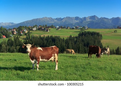 Cows in the front of Polish Tatra Mountains on late afternoon on a pasture at the village of Zab, Poland.