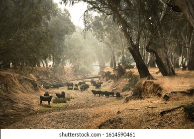 Cows gather in a creek bed run dry due to drought in Australia. Smoke from nearby bushfires filters in through the overhanging gum trees.