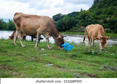 Cows in Georgia eat plastic in a place with grass