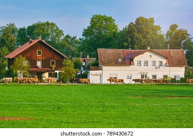 Cows Go to Pasture in Bolsternang, Germany