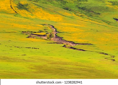Cows goat on Burr Marigold field at Ngorongoro Crater. Big land in green yellow in Arusha Region, Tanzania, East Africa