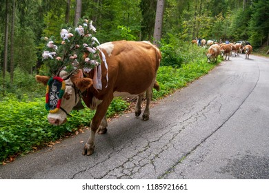 Cows are going home during winter