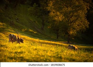Kühe, die am Ende des Tages von Weiden nach Hause gehen - Regenerative Landwirtschaft/Rind mit Gras gefüttert