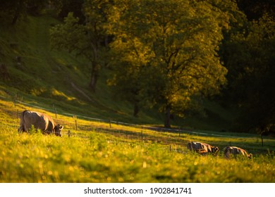 Cows going home from pasture at the close of the day
