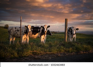 Cows at Golden Hour