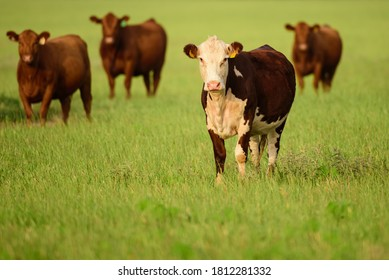 Cows in a grassy field on sunny day. landscape with herd of cow grazing on green field with fresh grass