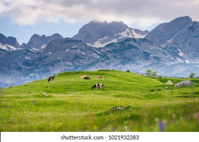 Cows graze in the alpine meadow. High mountains on a background. Spotted cow in the center of the frame. Flowers in the foreground. Pitomine, Zabljak, Montenegro, Crna Gora.