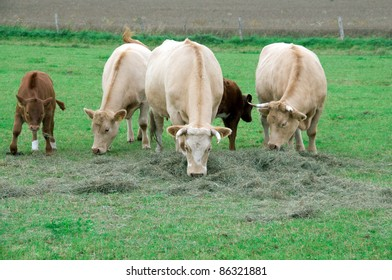 Cows graze and eat hay in the pasture.