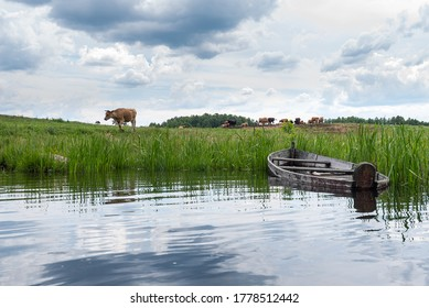 cows graze in the meadow by the river
