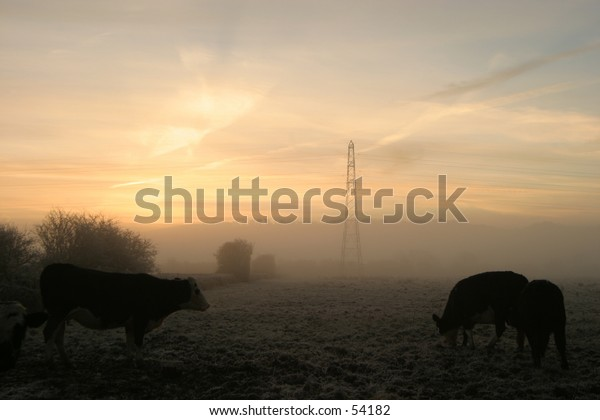 Cows graze in a misty and frosty early morning field.