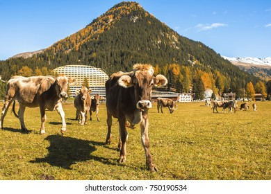 Cows graze on the field in Davos in Switzerland on the background of the Swiss Alps. Davos Switzerland.