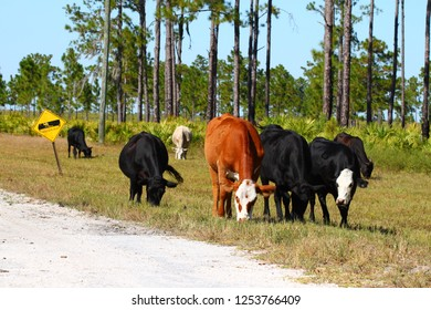 Cows graze on grass at a military base in Florida