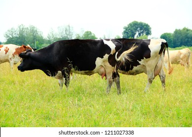 Cows graze on green farm pasture in summer. Cows on pasture in field. Domestic animals graze on meadow. Cows on farm pasture in summer field