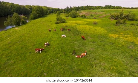 Cows graze on the meadow. The pasture near the river. Aerial photography.