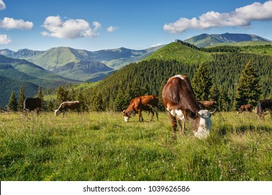 Cows graze on mountain hills in sun beams. Picturesque and gorgeous day scene.
