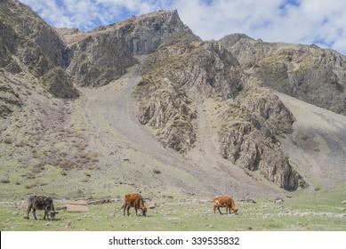 Cows graze on the mountain meadows, Georgia