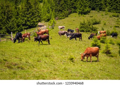 Cows graze in a pasture in the mountains of the Carpathians. Cattle grazing  lush green pasture of grass near forest on a beautiful sunny day.