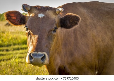 Cows graze in the steppe in search of food.