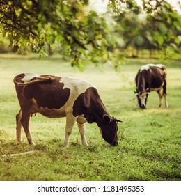 Cows are grazed in the park