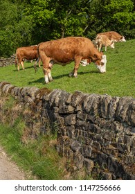 Cows grazing above stone wall