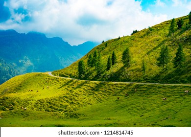Cows grazing alongside the road to Casera Losa climbing from Lateis and Sauris in the Giulian Alps, Ovaro, Friuli, Italy