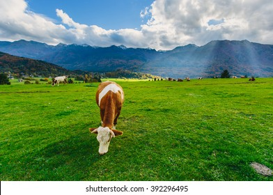Cows grazing in Alps
