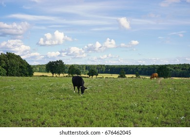 Cows grazing and calves in the meadow. Summer day in Poland.