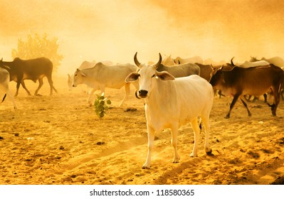 Cows grazing in the desert of Rajasthan, India