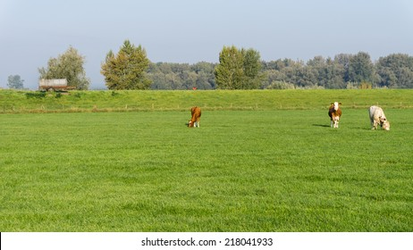 Cows grazing in a dutch meadow grassland