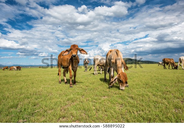 cows grazing and eating grass in grass field at farm with mountain background in sunny day clouds and blue sky