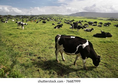 Cows are grazing in a farm in Mayo County, Ireland.