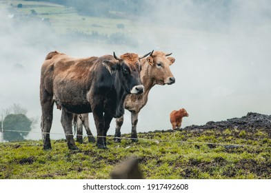 cows grazing in the field in Galicia