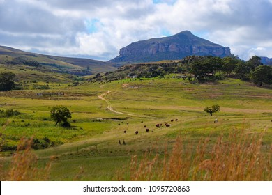 Cows grazing in a field near Bergville in the KwaZulu-Natal province of South Africa near the Drakensberg Mountains