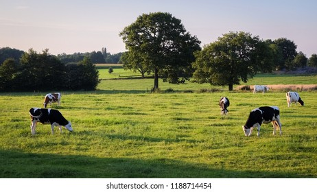 Cows grazing in the field near Ootmarsum (Overijssel, The Netherlands) on a summer evening, a small town near the German border in the Eastern part of The Netherlands.